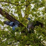 2 träduvor som slåss i ett träd arkivfoto