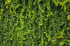 Trädvägg Fotografering för Bildbyråer