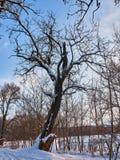 Trädvintersnö royaltyfria bilder