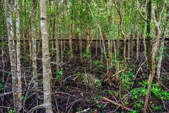 Trägångbana i överflödande mangroveskog i Thailand Royaltyfri Foto
