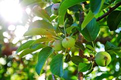 Trägt Apfel Früchte Lizenzfreies Stockbild