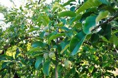 Trägt Apfel Früchte Lizenzfreie Stockfotos