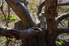 Trähydra Arkivfoton
