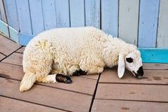 träliggande får för jordning Arkivbilder