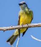 Trällerer-Vogel Lizenzfreie Stockbilder