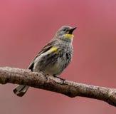 Trällerer-Vogel gehockt auf einer Niederlassung Stockbild