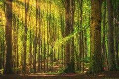 Trän eller beechwood för Casentino sekulära skogträd dimmiga italy tuscany fotografering för bildbyråer
