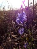 Ängblomma Polen Fotografering för Bildbyråer