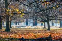 Trän i Richmond Park arkivbilder