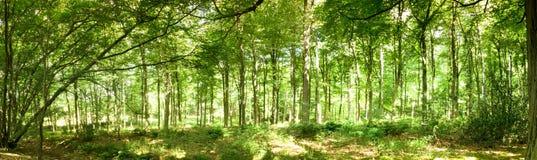 Trän i sommar med ljus till och med gröna sidor royaltyfri bild