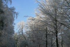 Trän i vintertid med frostade träd Arkivbilder