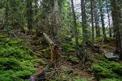 Trän på den Tatra nationalparken Arkivfoton