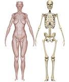 tränga sig in den skelett- kvinnan vektor illustrationer