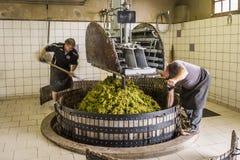 Trängande druvor i Hautvillers Champagne Royaltyfri Foto
