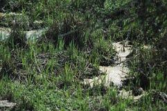 Träsk för träsk för myrgyttjavatten arkivfoton