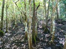 Träsk i den australiska rainforesten Arkivbilder