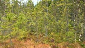 Träsk i den Carpathians skogen med gran-träd lager videofilmer