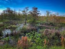 träsk i Florida med cypressträd och högväxt gräs royaltyfri foto