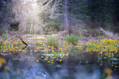 Träsk i skog royaltyfria foton
