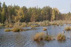 Träsk i skogen, höstlandskap Ryssland arkivbild