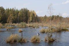 Träsk i skogen, höstlandskap Ryssland fotografering för bildbyråer