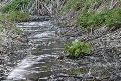 Träsk-ringblomma i skogströmmen royaltyfria foton