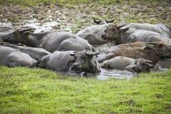 Träskbuffel Royaltyfria Bilder