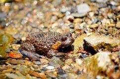 Träskflodgroda i en flod mycket av flodstenar Royaltyfri Foto
