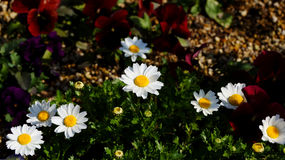 Träskkrysantemumblomma Arkivbild