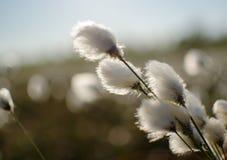 Träskväxt med ipushistymiinflorescences som bomull, Eriophorumvaginatumblom i vår arkivbild