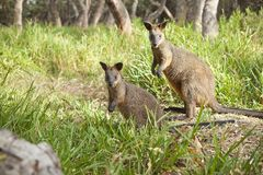 Träskvallabykängurur Australien Arkivbilder