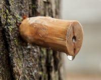 Träspilen som knackar lätt på lönnträdet för att, underminerar ska göra lönnsirap Arkivbilder