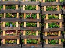 Träspjällådor med blommor Fotografering för Bildbyråer