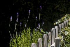 Trästaket i trädgård- och lavendelväxterna royaltyfria foton