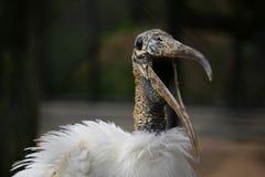 Trästork med den vita fjädern och den öppna näbb royaltyfri bild