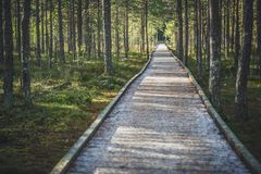 Trästrandpromenad i turist- slinga för träsk med solen och skuggor som drar linjer i pinjeskog Royaltyfri Bild