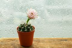Trätabell för mjuk rosa kaktusblomkruka Royaltyfri Foto