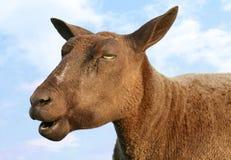 Träumen der Schafe Stockfotografie