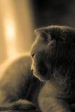 Träumen der skotish Faltenkatze Stockfoto