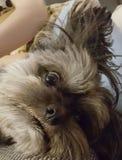 Träumen des Hundes Lizenzfreies Stockfoto