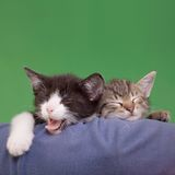 Träumerische Katzen Lizenzfreie Stockfotografie