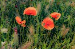 Träumerische Mohnblumen im Sun Lizenzfreies Stockbild