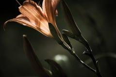 Träumerische orange Garten-Lilie lizenzfreie stockfotos