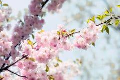 Träumerische Sakura Flowers stockbilder