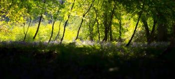 Träumerische Waldszene mit Glockenblumen Stockfotografie