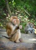 träumerischer kleiner Affe Lizenzfreies Stockfoto