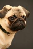 Träumerischer Pug Lizenzfreie Stockfotos
