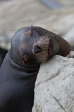 Träumerischer Seelöwe Lizenzfreie Stockbilder