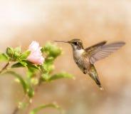 Träumerisches Bild eines jungen männlichen Kolibris Lizenzfreie Stockfotos