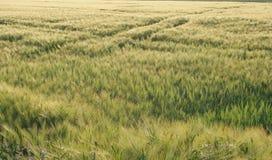 Träumerisches Weizenfeld Lizenzfreie Stockfotos